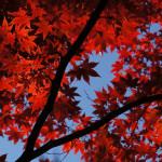 今年ラストの紅葉狩り ~京都 光明寺_もみじ参道_赤色編~