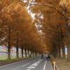今年ラストの紅葉狩り ~滋賀 メタセコイア並木~