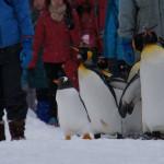 冬の旭山動物園 ~ペンギンの散歩~