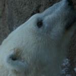 冬の旭山動物園 ~クマ系~