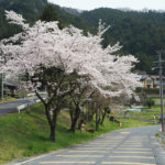 奥矢作湖の桜_2