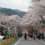 大井川鐵道で花見